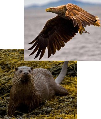 White tailed sea eagle and coast and river otter