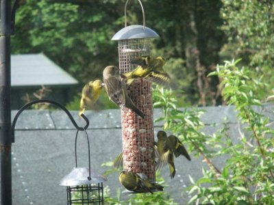 Siskins on our feeders